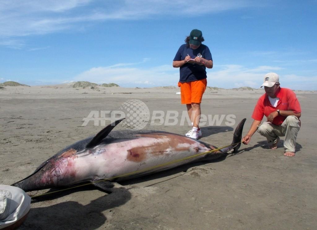 ペルー海岸で相次ぐ動物大量死、今度はオキアミが数千匹