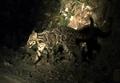 ボルネオで新種ウンピョウの撮影に初めて成功