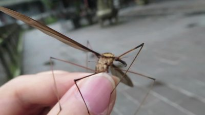 動画:巨大な蚊、ギネス認定 四川で発見
