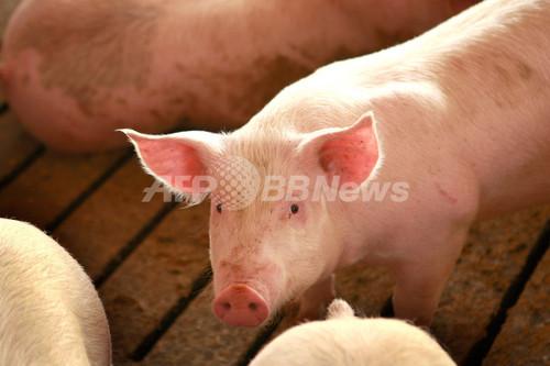 米政府、「豚インフルエンザ」の名称変更を検討