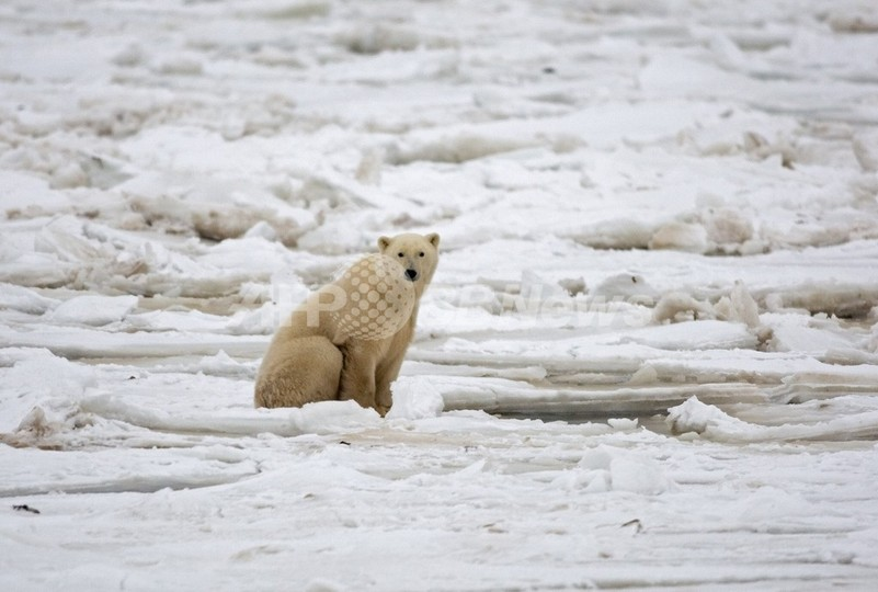 アイスランドでシロクマを発見、地球温暖化の影響か