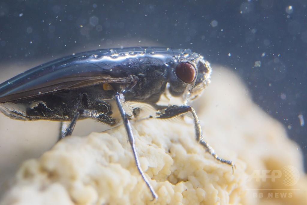 塩湖に生息するハエの「奇妙な」潜水行動を解明、米研究