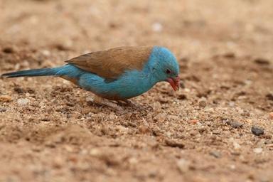 小鳥の「高速タップダンス」求愛行動、雌雄で初観察 研究 写真1枚 国際ニュース:AFPBB News