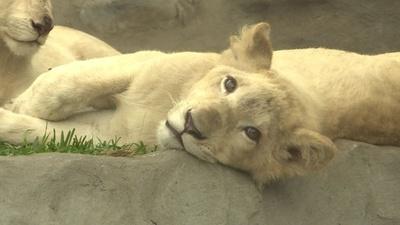動画:希少なホワイトライオンの子ども2匹を公開 ペルー