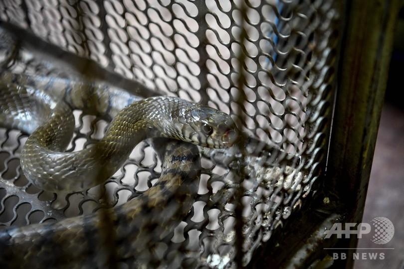 火災ゼロなのに通報相次ぐタイの消防署… 理由は「ヘビが出た!」