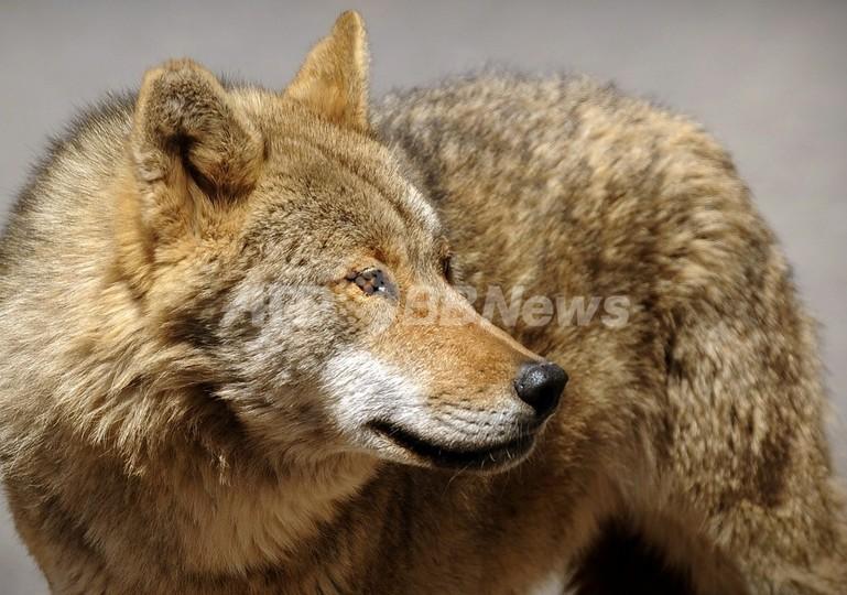 スウェーデンで45年ぶりオオカミ猟復活、頭数増加で家畜に被害