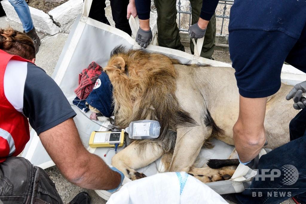 動物園からライオンなど救出、「地獄のような」飼育環境 アルバニア