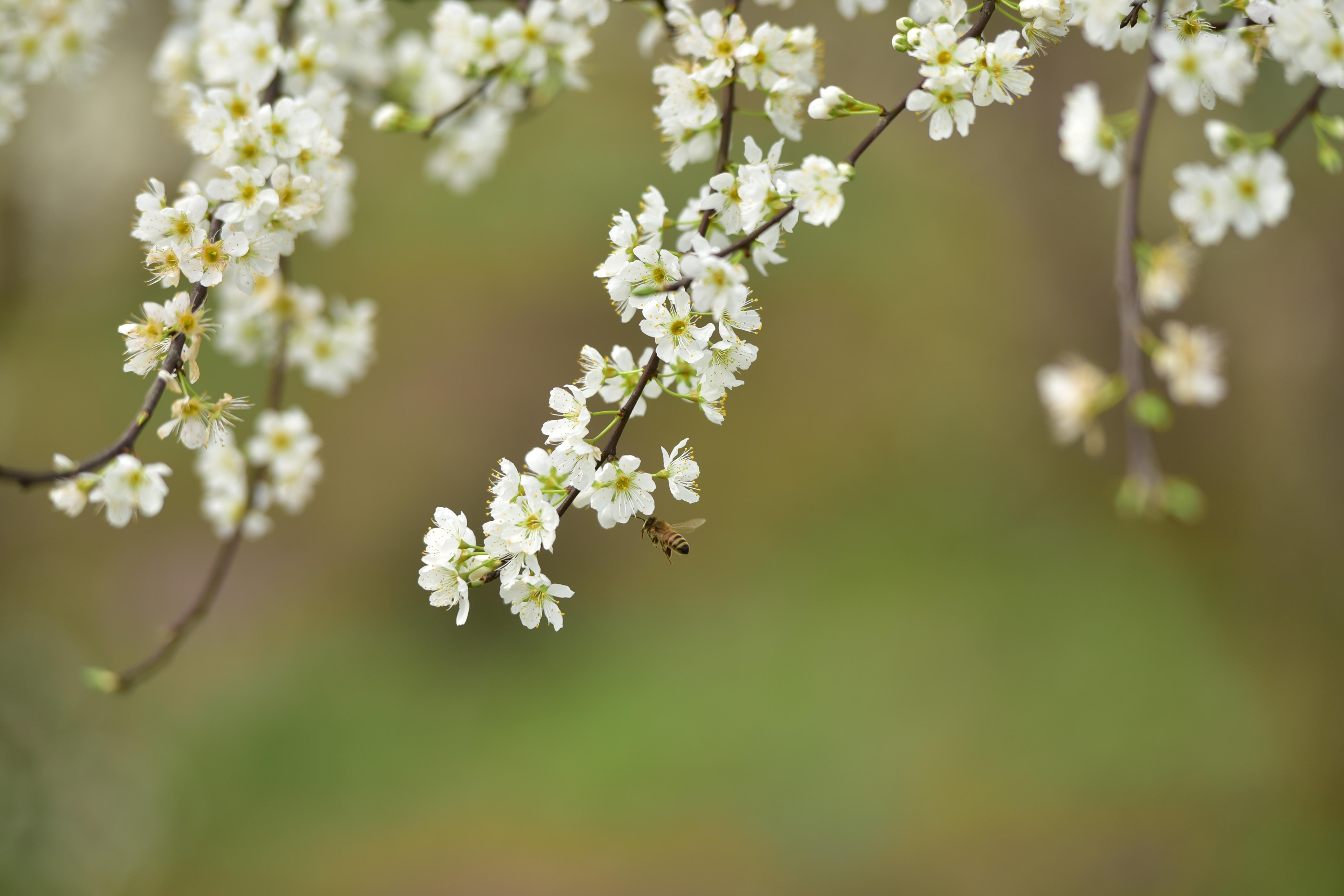 春本番、スモモと菜の花が満開 四川省内江市