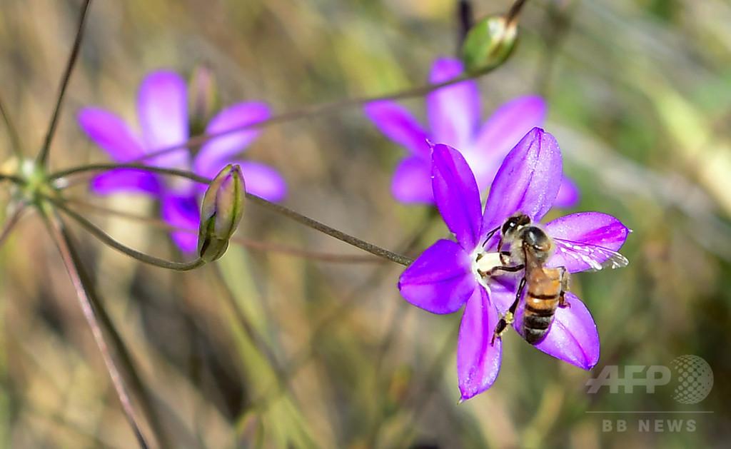 世界の蜂蜜の75%、ミツバチに有害な殺虫剤の痕跡 研究