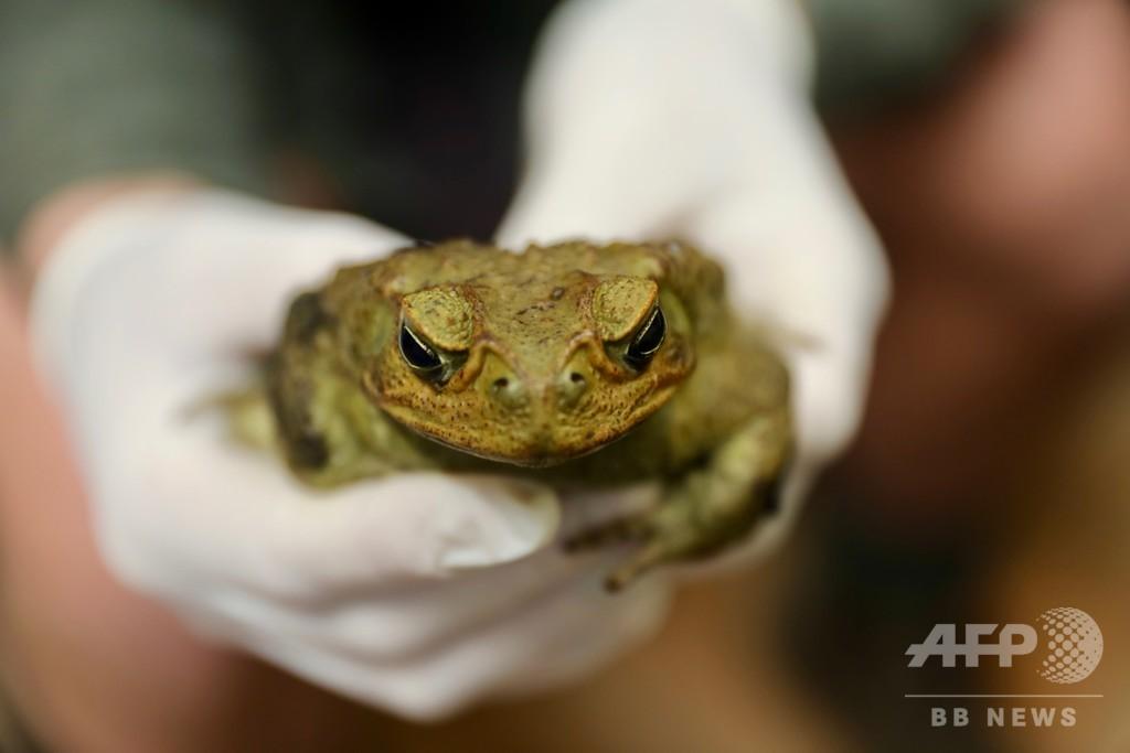 豪北部に生息する有毒ガエル、南部でも発見 生態系に影響の恐れ