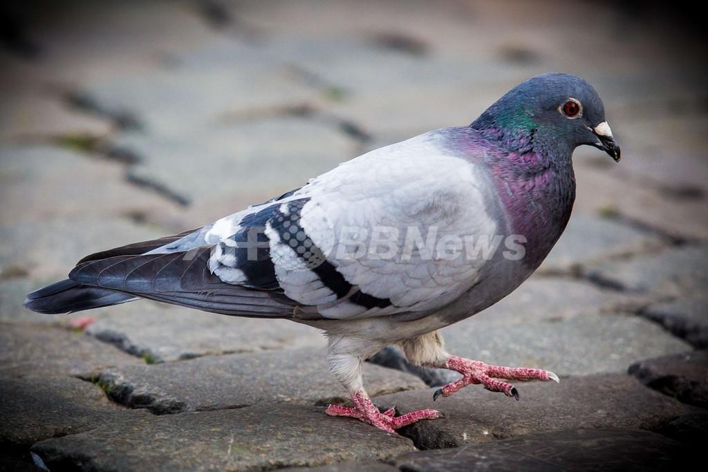 ベルギーのレース鳩、6羽からコカインなど検出