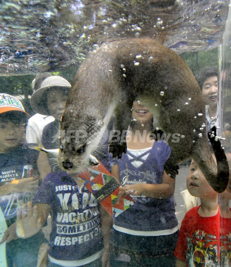 カワウソが透明パイプの中をスイスイ、上野動物園で特別展示