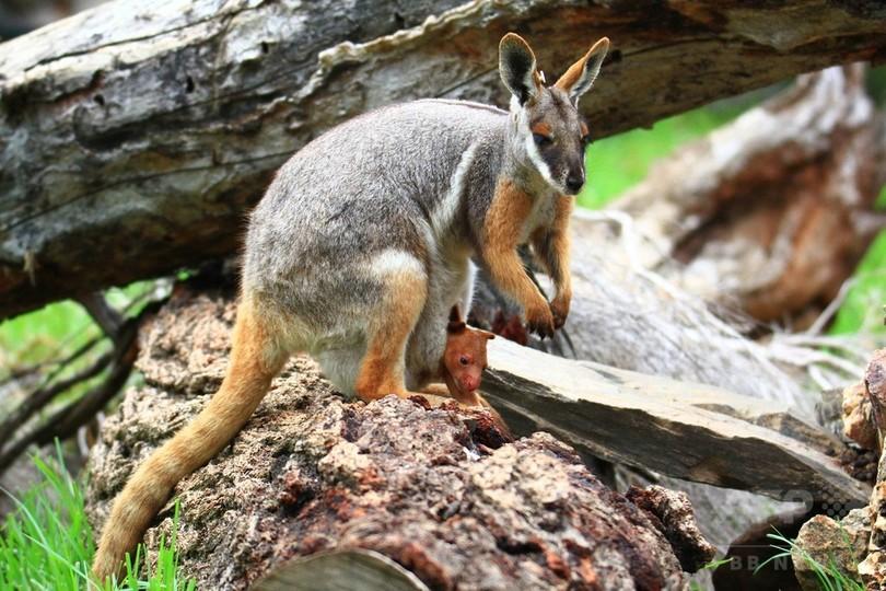 カンガルーの「孤児」、ワラビーママが育てる 豪動物園