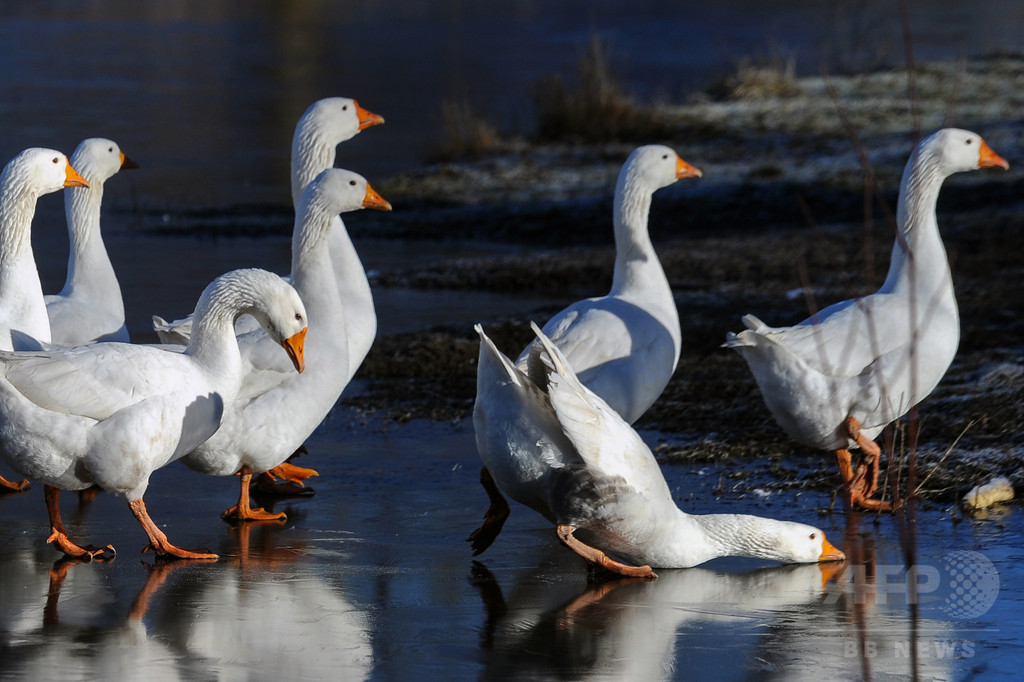 滑る滑る、氷張る湖上を歩くガチョウたち ベラルーシ
