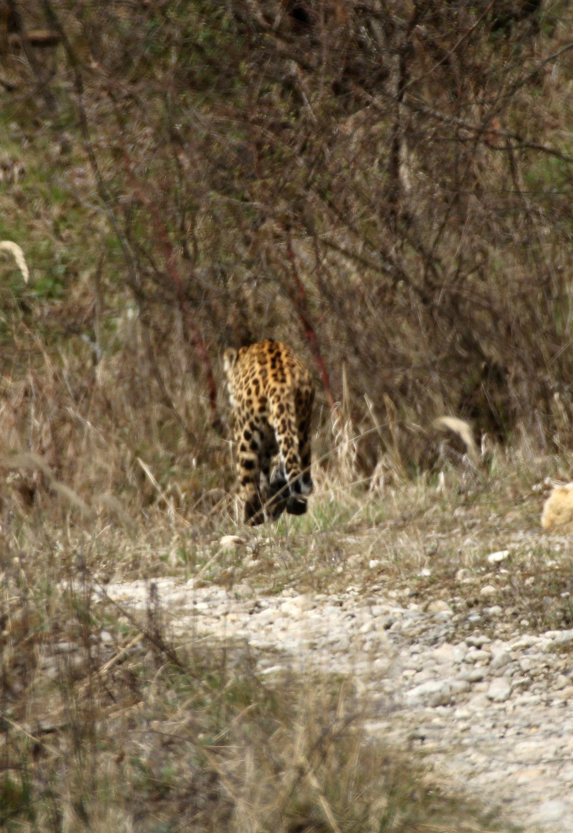 陝西長青自然保護区のパトロール隊員、近距離でヒョウと出合う