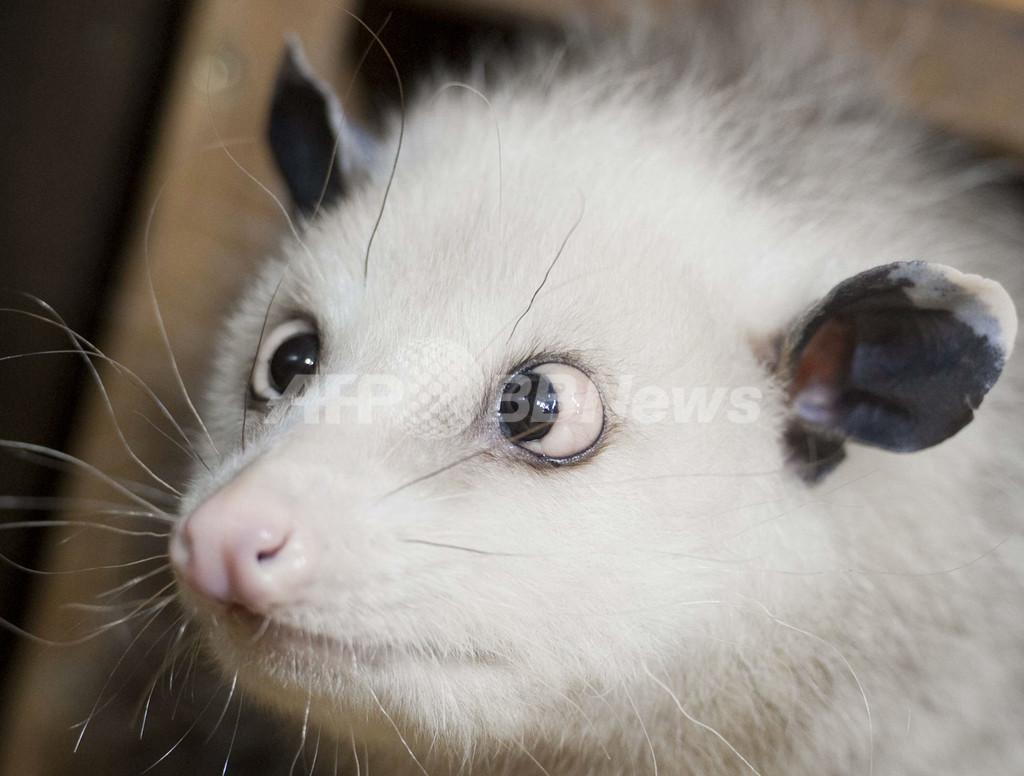 寄り目のフクロネズミ、ネットで大人気