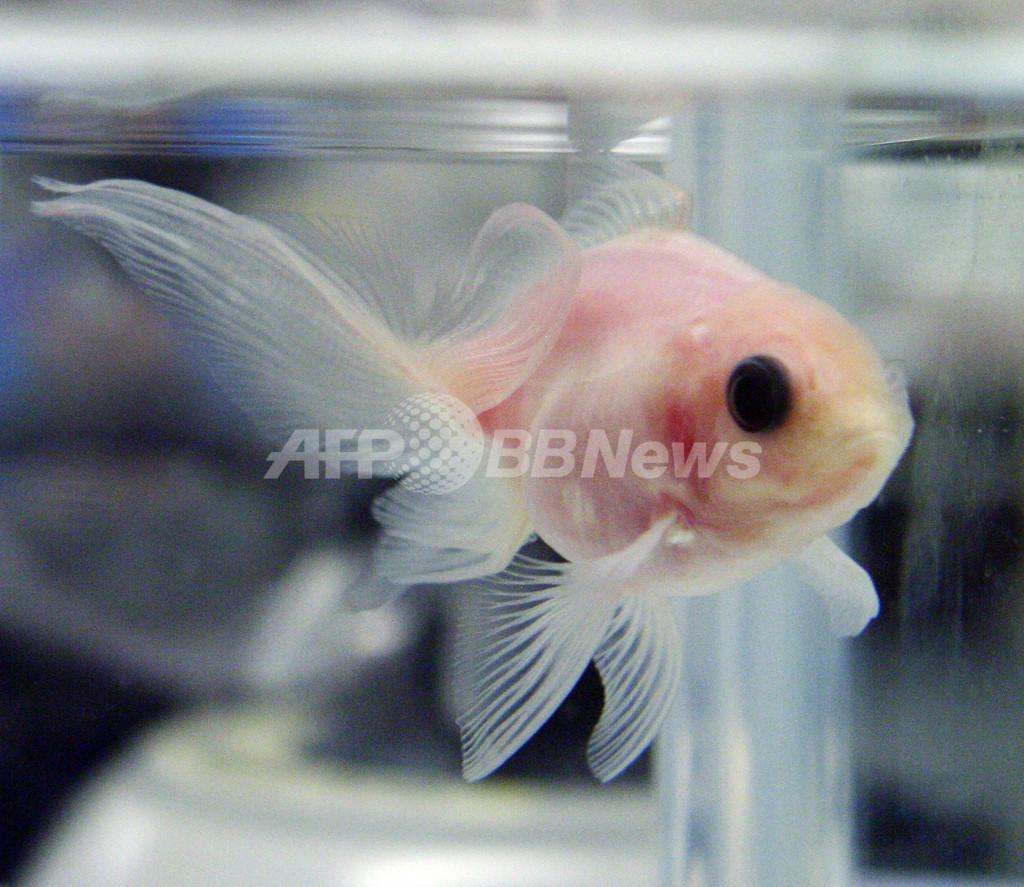 内臓が透けて見える金魚、三重大が開発に成功