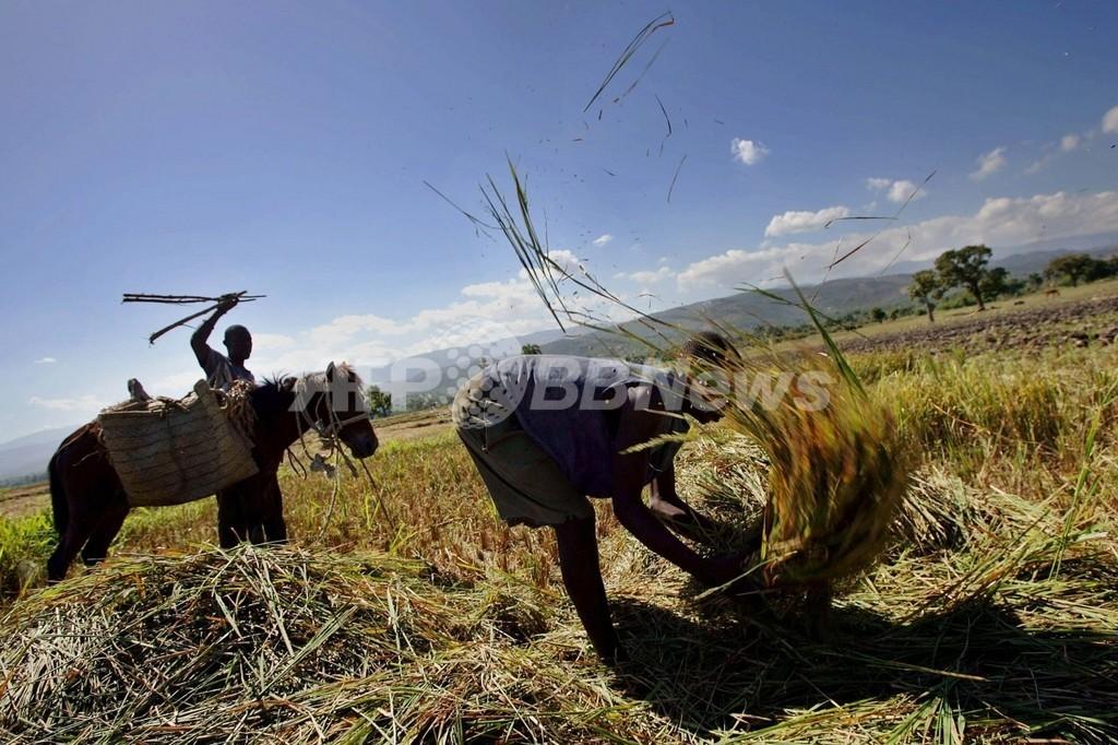 ガイアナ、ハイチへのコメ輸出倍増へ