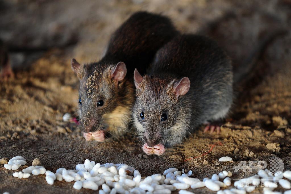 ネズミは「匂い」で飢える隣人を救う、独研究