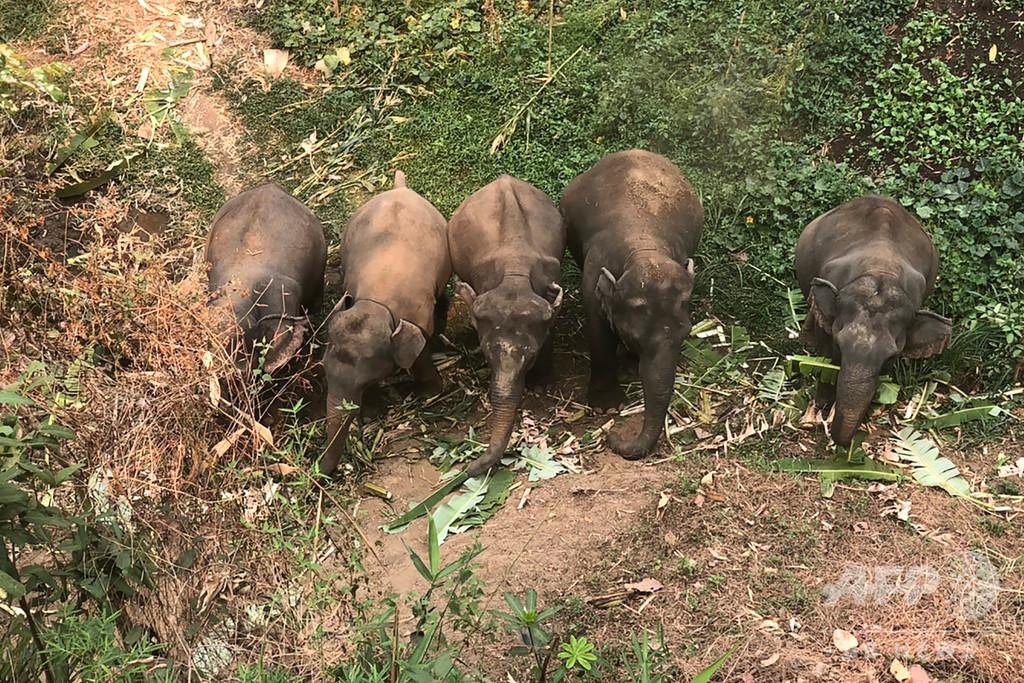 おなかすかせて鎖につながれ…新型コロナで打撃のタイ観光業、ゾウの餌代不足