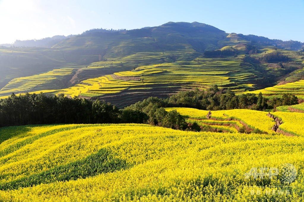雲南・ 羅平では菜の花畑がもう満開