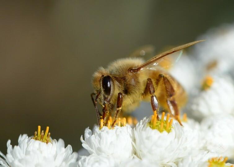 ハチを伝染病から守るワクチン開発 世界初か ヘルシンキ大チーム
