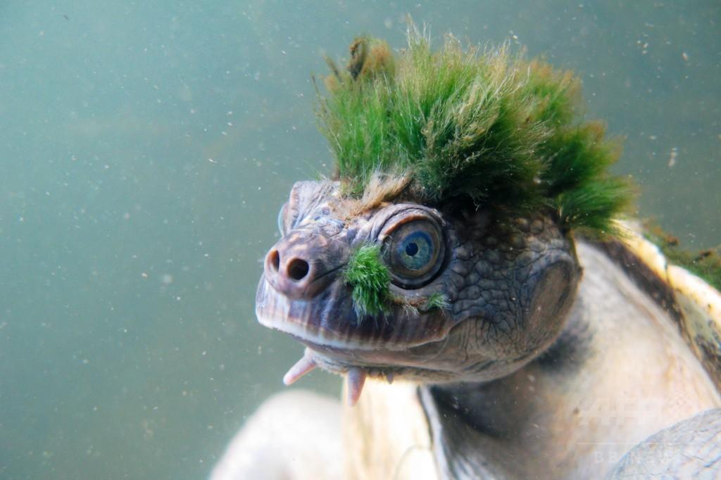 パンクな緑のモヒカンが特徴のカクレガメ、絶滅の危機に