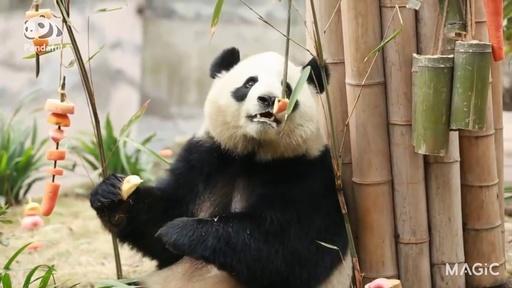 動画:【パンダフル】あっちもこっちも大好物がいっぱい