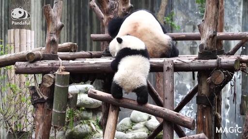 動画:【パンダフル】かわいさ満点 木登りする赤ちゃん