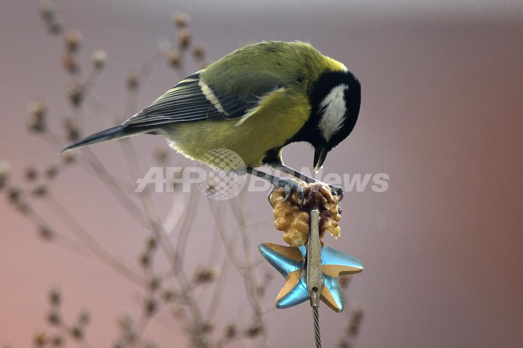 ドイツの鳥も秋の味覚に舌鼓