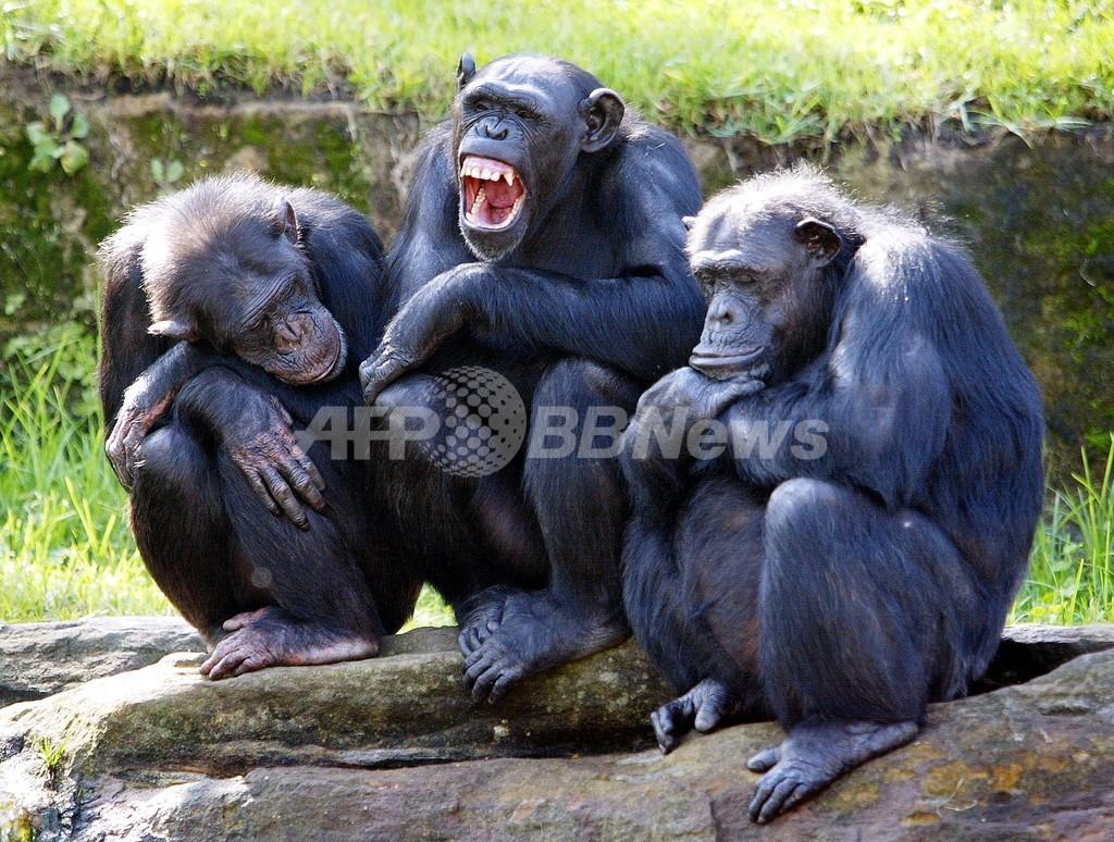 人間から「もらいあくび」、チンパンジーでも