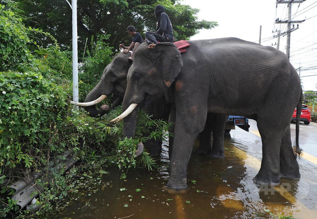 英国人観光客、ゾウに踏まれて死亡 タイ