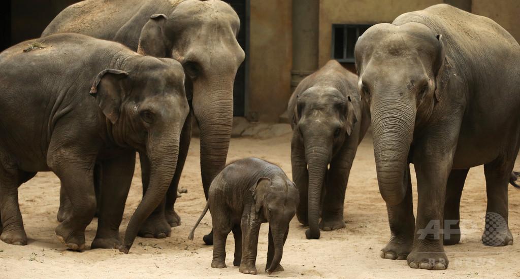 ゾウにがんが少ない理由を解明、米研究