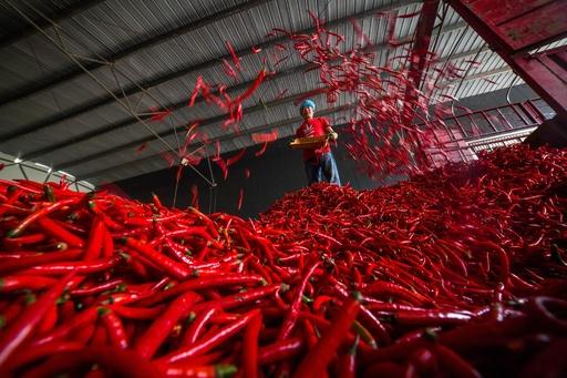 辛みの強いトウガラシの収穫の季節、貴州・大方