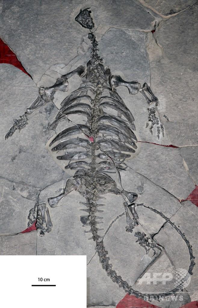 カメの甲羅はどうできた? 2億2800万年前の化石、謎解きの手がかりに 中国