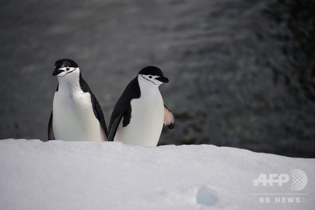 ペンギンに見られながら泳げる島、南極半島沖のハーフムーン島