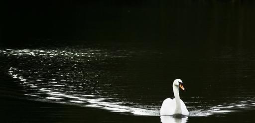 十和田湖のハクチョウ、鳥インフルに感染