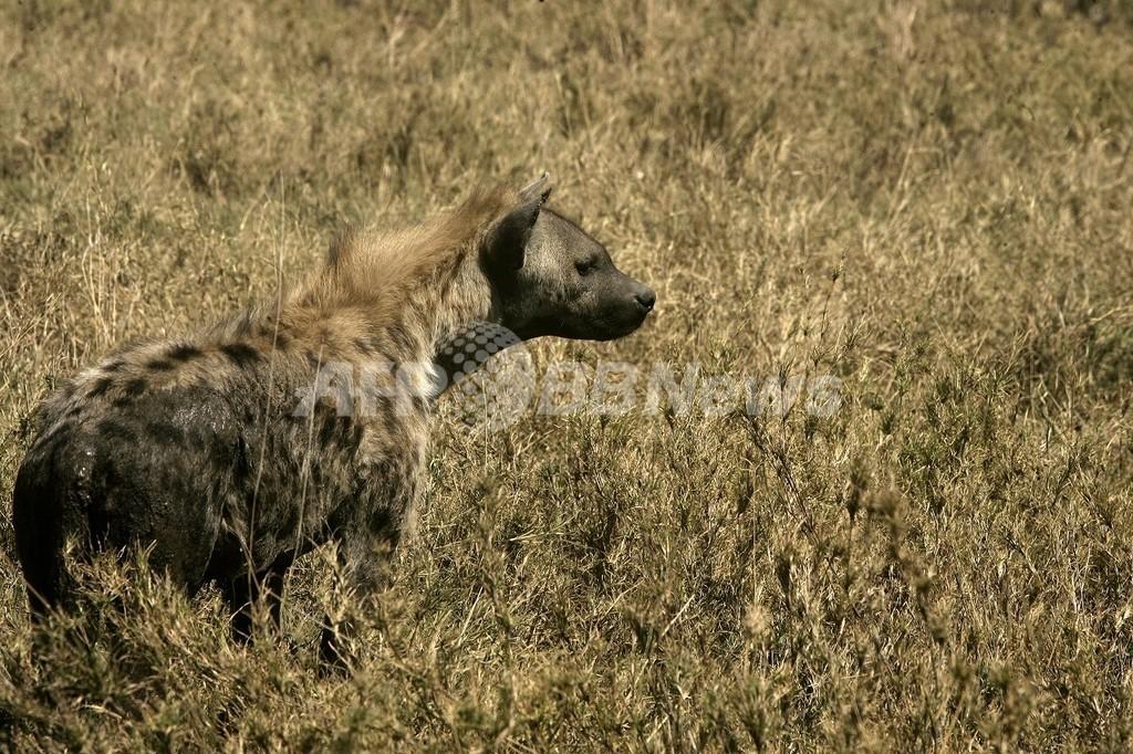 ライオン、ハイエナ、手術と戦ったケニアの男性、惜しくも亡くなる