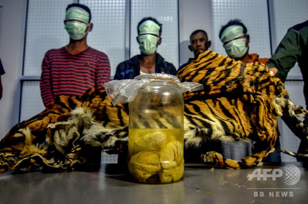 トラ毛皮と瓶詰め胎児を押収、密猟者3人を逮捕 インドネシア
