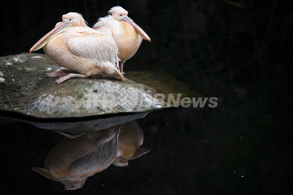 水辺にたたずむペリカンたち、独動物園