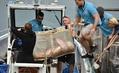 ビーチに打ち上げられたホホジロザメの子、海に戻る 豪シドニー