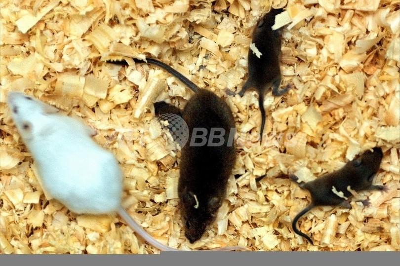 ネズミの肝臓の老化ストップに成功、米大学