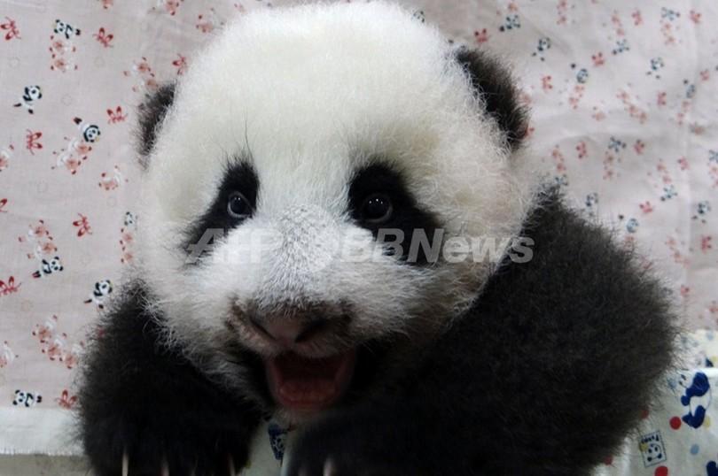 こんなに大きくなったよ!台湾の赤ちゃんパンダ
