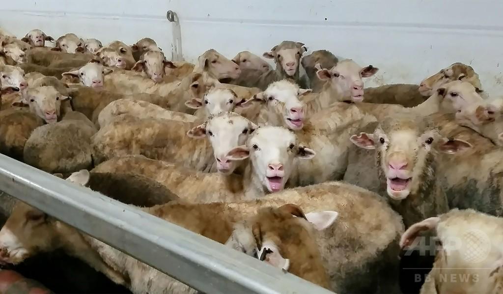 隠し撮りで羊の虐待発覚、豪の家畜輸送船を出航阻止