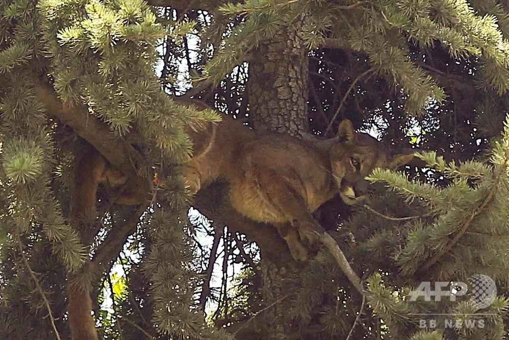 犬も人も怖い…! 野生のピューマ、樹上にすくんで15時間 無事保護