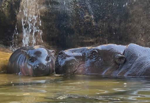 生後2日のカバの赤ちゃん、ママと水遊び 台湾