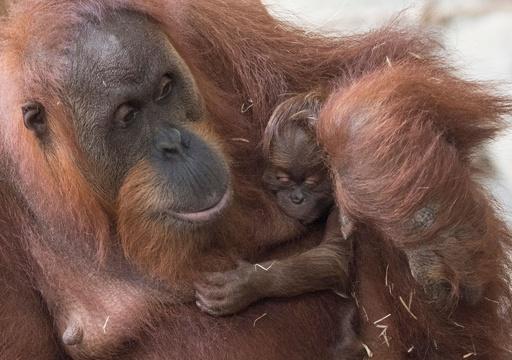 ママにべったり! オランウータンの赤ちゃん 独