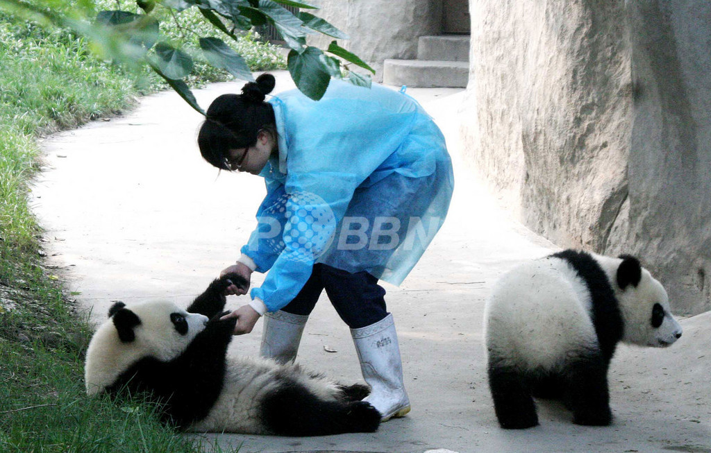 パンダ飼育員6人を世界から募集、「プロジェクト・パンダ」始動 中国