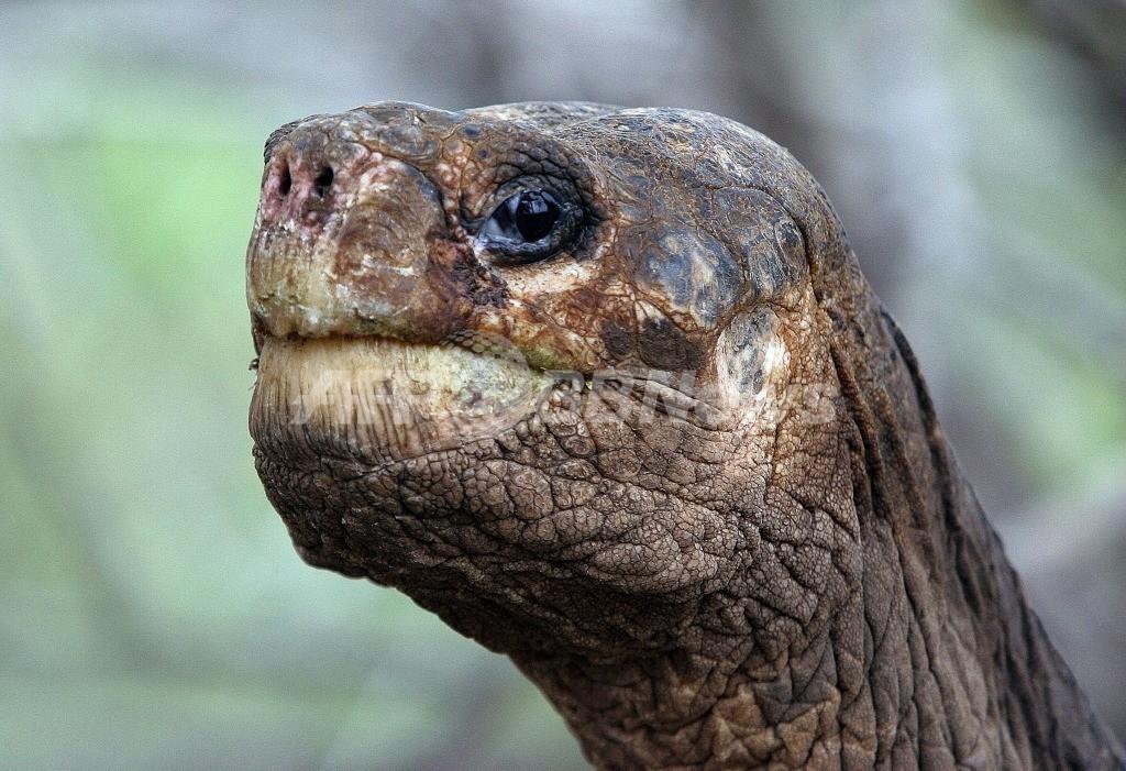 ガラパゴス諸島の「ロンサム・ジョージ」死す、ピンタゾウガメ絶滅