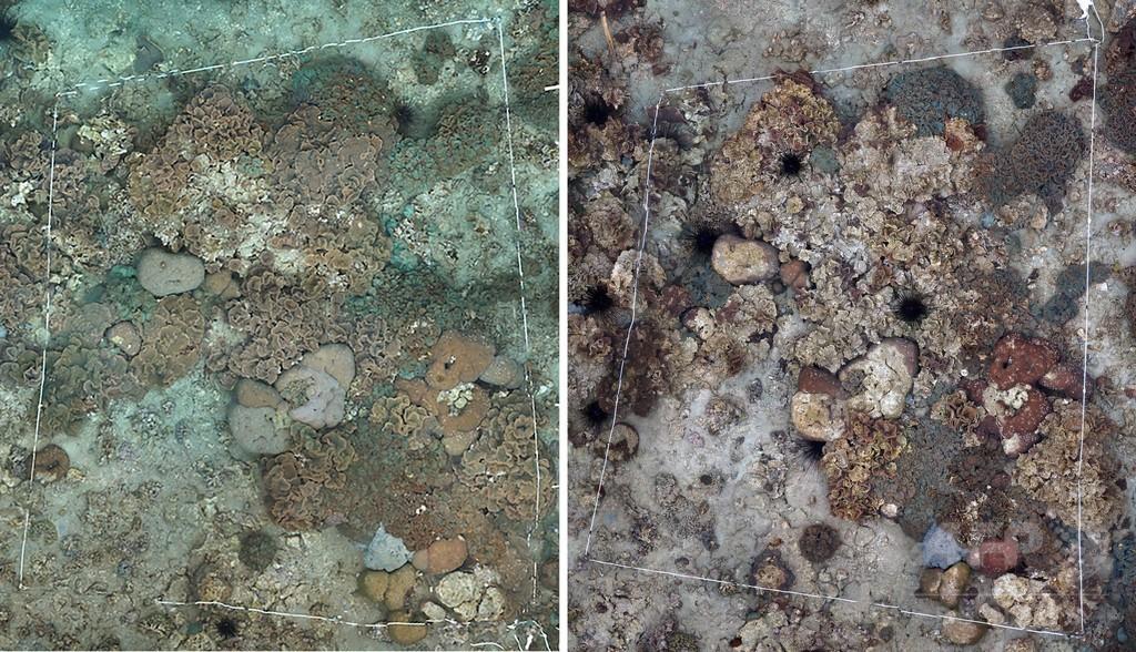 世界最北のサンゴ礁、白化現象を確認 対馬沖
